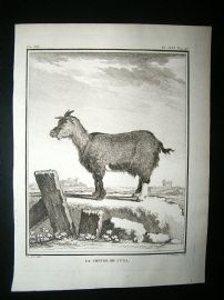 Buffon: C1770 Goat of Judah, Antique Print
